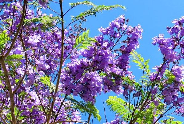 jacaranda floreciendo